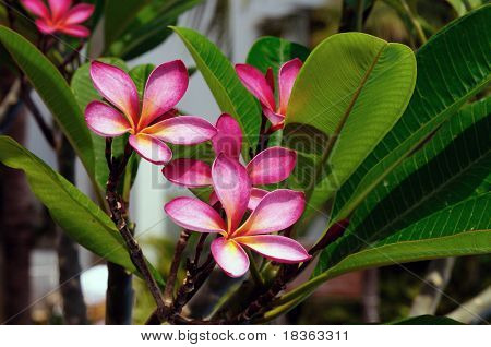 pink frangipani flowers at full bloom