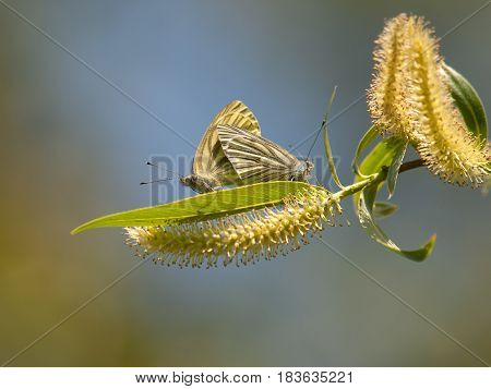 Copper-butterfly ( Lycaenidae). Beautiful butterfly make mating