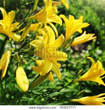 Yellow Day lily flower or Hemerocallis name