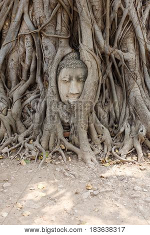 Foto of Buddha's face among roots of tree