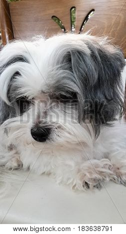 Maltese terrier dog head portrait of a little pretty white and gray...