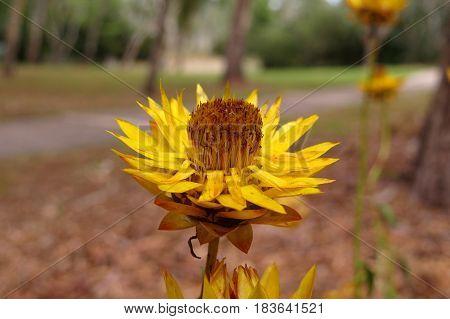 Australian native flower yellow Everlasting Daisy growing in bushland park land