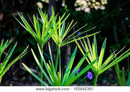 Green papyrus laef stem on dark background