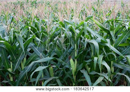 Rows of Corn Stalks Growing . I