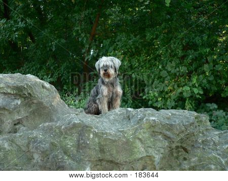 Schnauzer On Rock