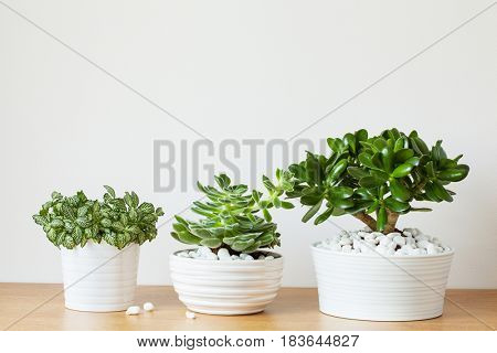 houseplants fittonia albivenis, crassula ovata, echeveria in white pots