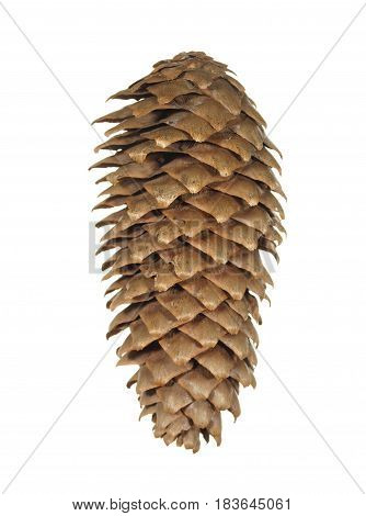 Dry fir cone brown isolated on white background