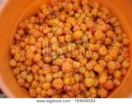 Lots of ripe orange cloudberries collected in the swamp