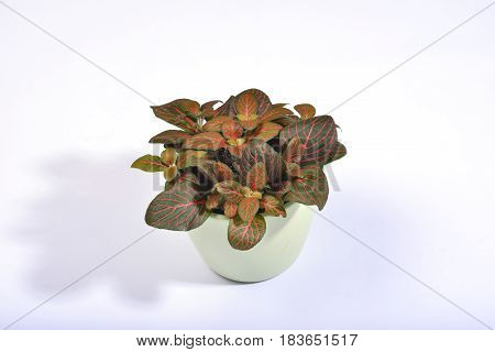 A potted fittonia with red veined dark green leaves on a clear white background.