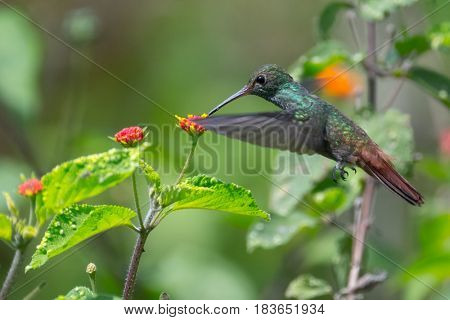 Rufous tailed hummingbird (Amazilia tzacatl) feeds in the wild. Costa Rica