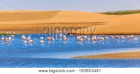Flock Of Pink Flamingo Marching Along The Dune In Kalahari Desert, Namibia