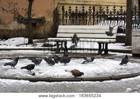 flock of birds pigeons in the snow in the city yard puddles bench fence wall