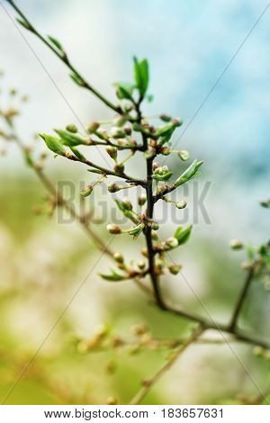 Branch with fresh bloom of wild plum-tree flower closeup in garden. Spring blossoming spring flowers on a plum tree against soft floral background