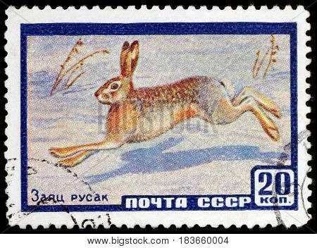 LUGA RUSSIA - APRIL 26 2017: A stamp printed by USSR (RUSSIA) shows The European Hare also known as the brown hare in wintertime circa 1960