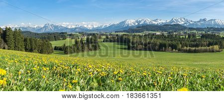 Beautiful yellow flower meadow with some villages, snow covered mountains and clear blue sky. Location: Schwaltenweiher in Bavaria, Alps, Allgau, Germany. Fresh green grass, blue water and sky, white mountains and clouds.