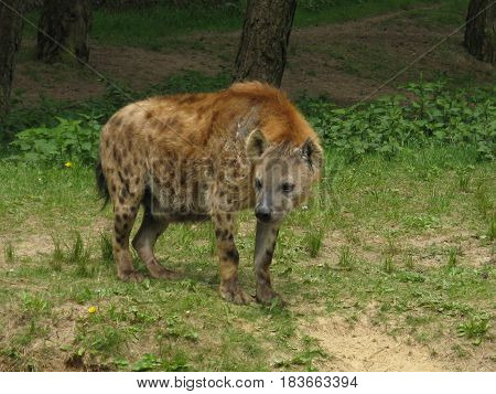 Spotted wild hyena with a curve in his back in the wild.
