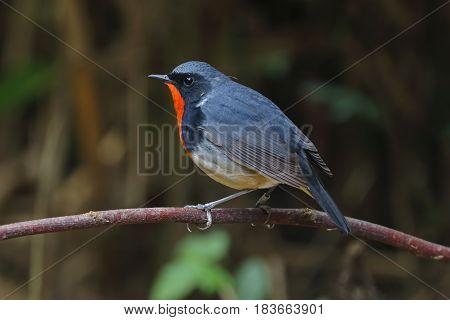 Firethroat Luscinia pectardens Male Birds of Thailand