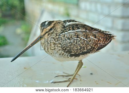 A close up of the snipe (Gallinago hardwickii).