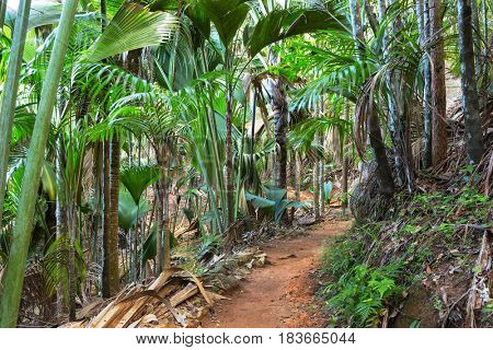 Footpath in The Vallee De Mai palm forest ( May Valley),  island of Praslin, Seychelles