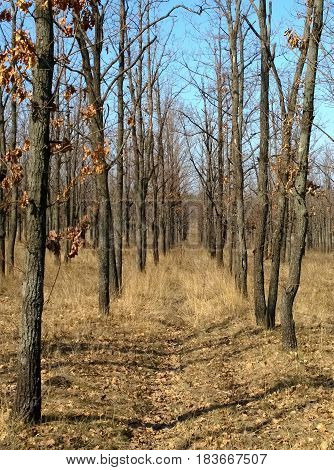 Rows of oak forest planting in the spring near the city of Krivoy Rog in Ukraine