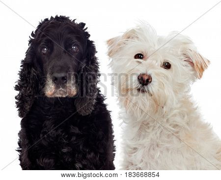 Black and white dogs looking at camera isolated