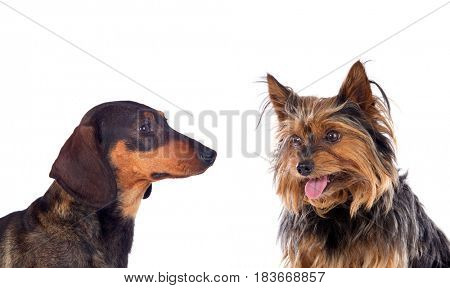 Two dogs a Yorkshire and a Tekel, isolated on a white background