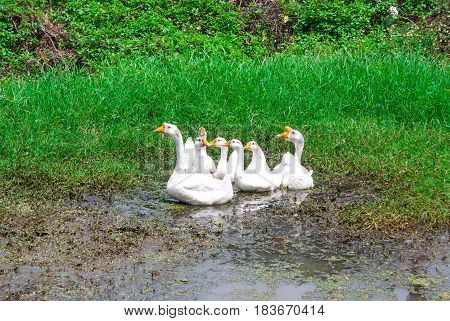 Closeup to Family of Beautiful White Goose Anser Cygnoides Playing Muddy Water