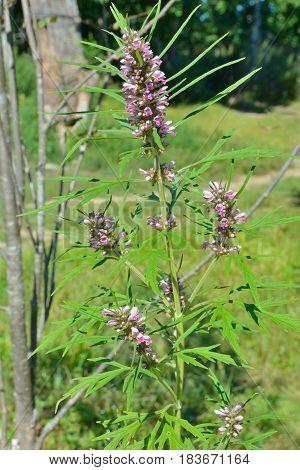 A close up of the blooming medicinal herb motherwort.
