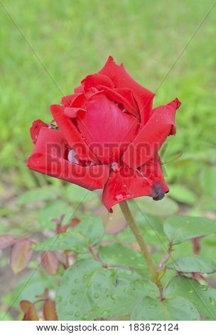A close up of the flower red rose with raindrops on petals.
