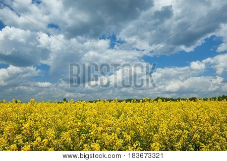 Bright yellow flower field, beautiful spring landscape, rapeseed