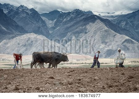 Farmers manually spread fertilizer and plowing the land with a pair of oxen. October 18 2012 - Maras Urubamba Valley Peru