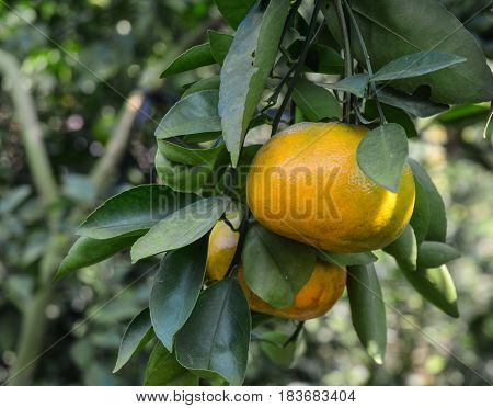 Tangerine Fruits On The Tree