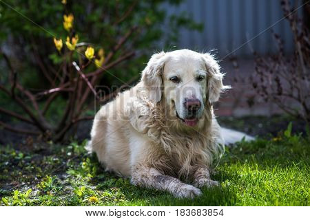 happy smiling golden retriever dog on nature background
