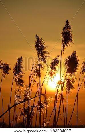 Sun shining through the reed. Sunset over lake.