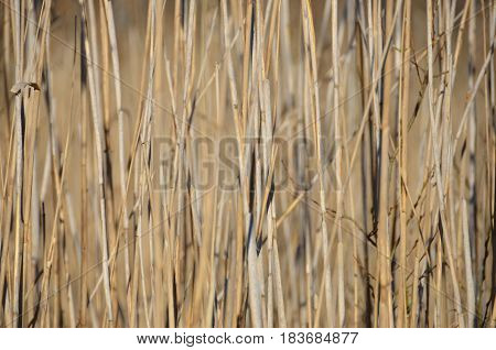 Dried out reeds near lake in spring.
