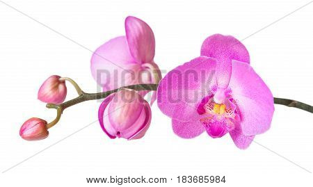 Purple phalaenopsis orchid flowes isolated on white background close-up