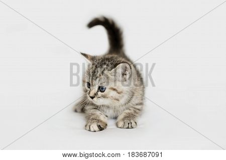 Charming grey kitten playing. Striped baby cat isolated on white.