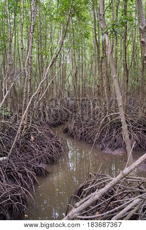Wide angle view of a saltwater stream moving through corridors formed from the thick roots of multiple mangrove trees. Rayong province Thailand. Nature and ecotourism concept.