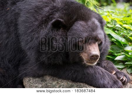 Close-up detail of an Asian black bear (Ursus thibetanus) sitting on a rock with plants in the background. Travel and wildlife concept.