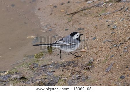 White wagtail Motacilla alba running on sand close-up portrait selective focus shallow DOF.