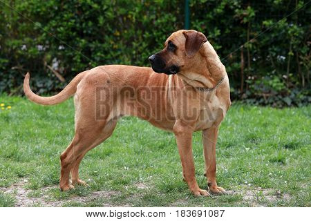 Closeup of a japanese bandog tosa inu in the green