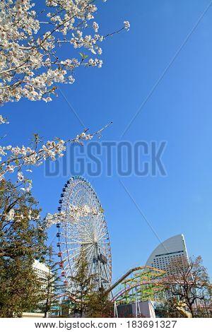Yokohama Cosmo World And Cherry Blossoms In Kanagawa, Japan