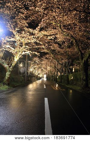 Tunnel Of Cherry Blossoms In Izu Highland, Shizuoka, Japan (night Scene)