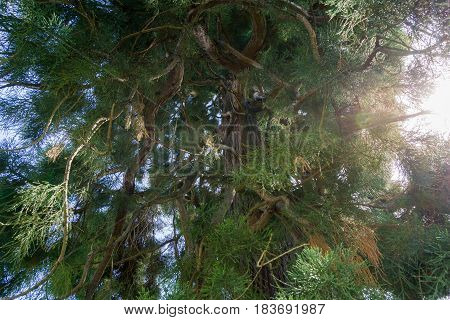 Close-up of beautiful Tree in the Morning light. Big Tree in Spring. Fir Trees. Green Fir needles