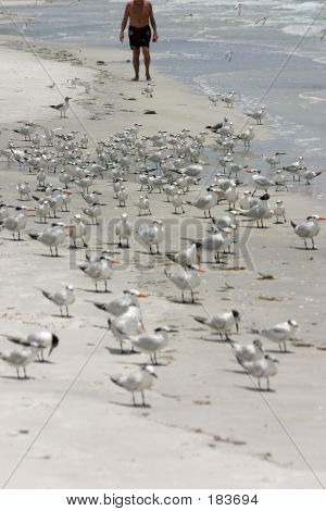 walking with the birds.madeira beach florida ** note: shallow depth of field poster