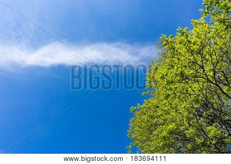 Close-up of a big Tree. Green Trees in Spring. Blooming Tree in front of a blue Sky. Spring awakening