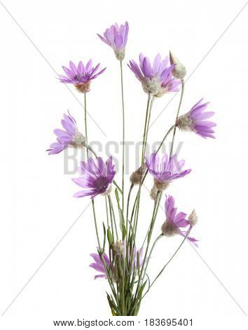Bundle of    flowering plants  (Immortelle)  isolated on white background.   Xeranthemum annuum. Shallow depth of field. Selective focus