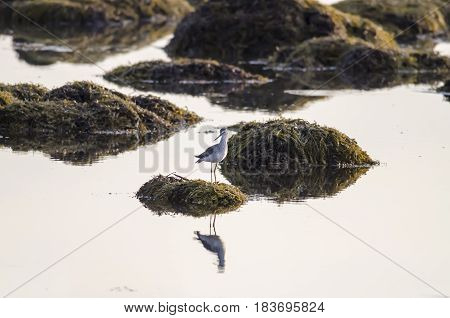 Greater Yellowlegs poised on seaweed-covered rock at low tide