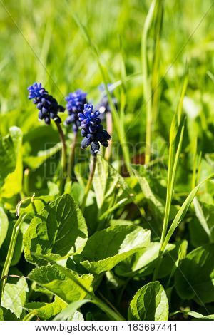 Blooming spring flowers of muscari, macro photography of plants in the botanical garden