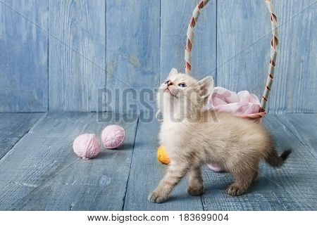 White funny kitten look up play with pink wool ball and straw basket. Playful small cat at blue wood background.